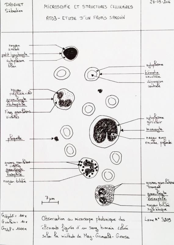 Dessin observation frottis sanguin 1