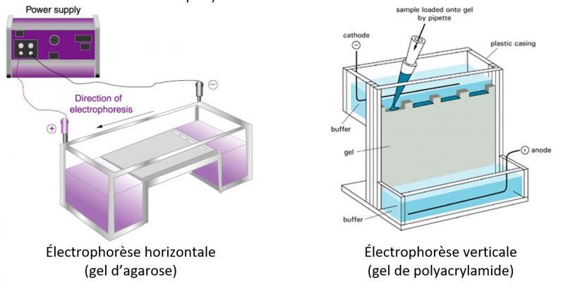 Electrophorese agarose vs polyacrylamide