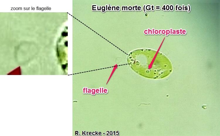 Euglene gt 400 fois krecke 1