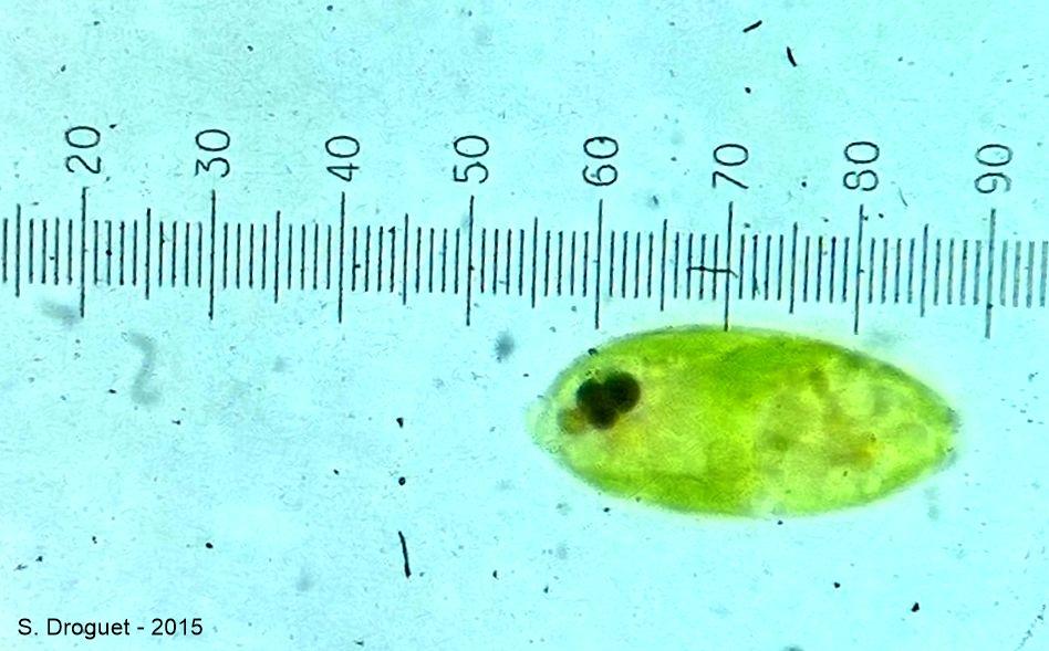 A l'aide de l'étalonnage précédent, on mesure la longueur de cette micro-algue :