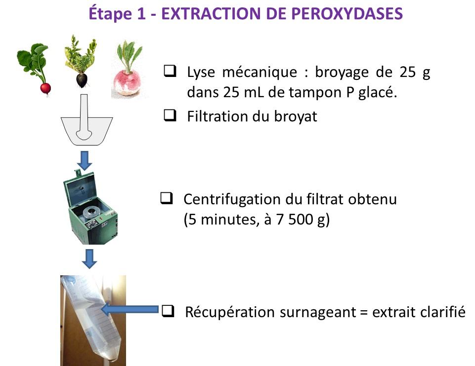 Extraction peroxydases