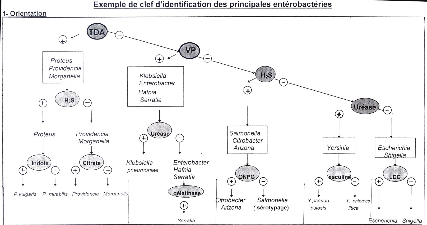 Identification enterobacterie 4b