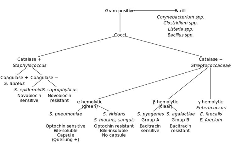 Identification streptocoques 4