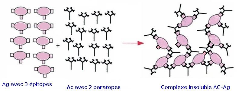 Immunoprecipitation schema moleculaire