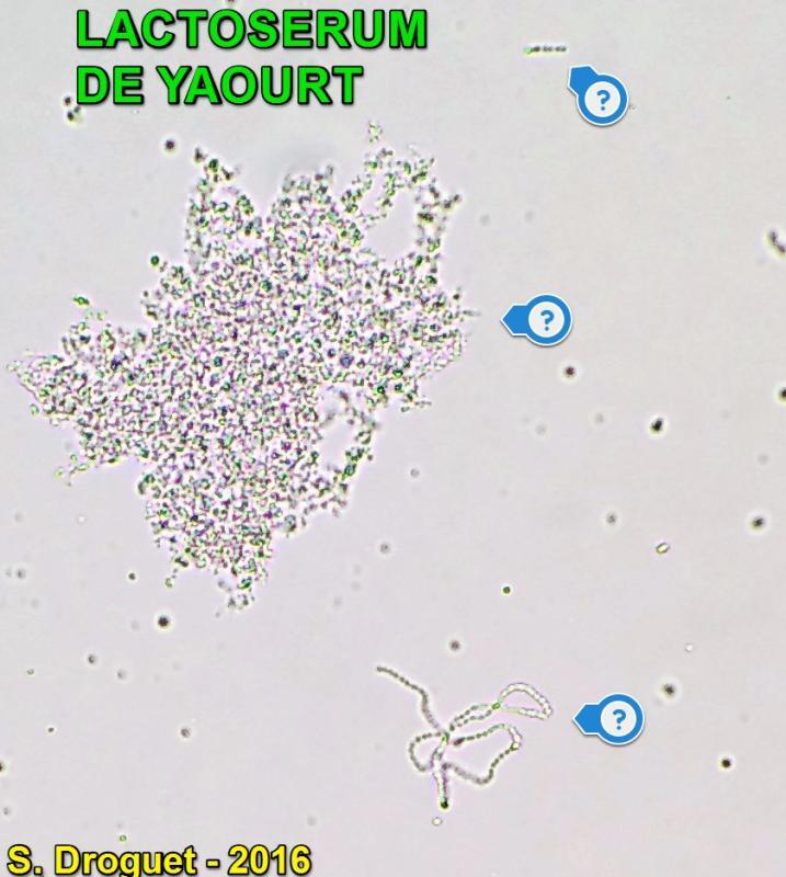 Lactoserum etat frais 1