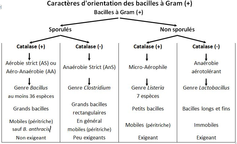 Orientation bacilles gram
