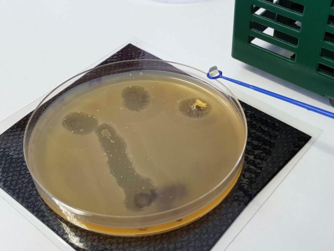 Recherche phage decoupe gelose